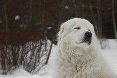 Włoski pasterski pies Obraz Royalty Free