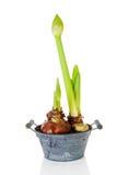 W pączku amarylków kwiaty Obrazy Royalty Free