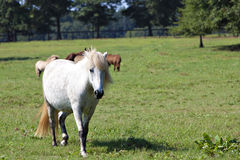W paśniku islandzcy konie obrazy royalty free