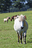 W paśniku islandzcy konie fotografia royalty free