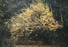 W parku żółty drzewo Obrazy Royalty Free
