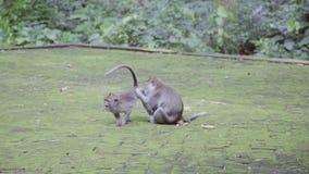 W parku otaczającym zielony jeden krzaka małą długą ogoniastą małpą odwszawia inny zbiory