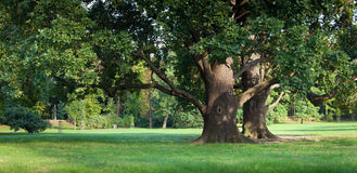 W parku silny stary zielony dębowy drzewo Obrazy Stock