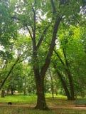 W parku zielony drzewo Drzewo gęstego, niewywrotnego bagażnika który dzieli w dwa głównej gałąź, Korona drzewo robi n Obraz Royalty Free