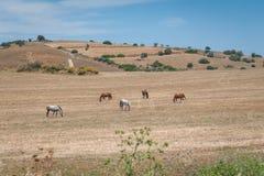 w pastwiskowi koni Andalucia, Andalusia, Hiszpania europejczycy obraz stock