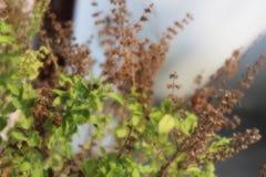 W pełni jaśniejąca tulsi roślina Obraz Stock