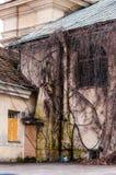 W pełni przerastający fasada łuku okno z dzikim winogradem, gronowa roślina Straszny nagi gałąź zakrywać mieści ścianę obrazy stock