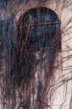 W pełni przerastający fasada łuku okno z dzikim winogradem, gronowa roślina Straszny nagi gałąź zakrywać mieści ścianę obraz royalty free