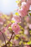 W pełnym kwiacie w brzoskwini okwitnięciu Obrazy Stock