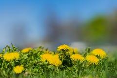 W pierwszoplanowych, jaskrawych żółtych młodych dandelions, Zamazany parkowy plenerowy z natury zielenią, słońca światła kopii pr Obrazy Royalty Free