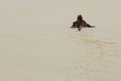 W plaży morska iguana zdjęcie stock