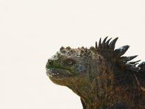 W plaży morska iguana zdjęcia stock