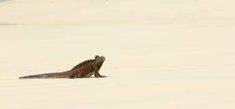 W plaży morska iguana zdjęcie royalty free