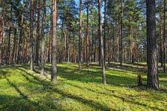 W pogodnym letnim dniu sosnowy las. Fotografia Royalty Free