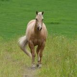 W polu blady koń Obrazy Royalty Free