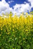 W polu Canola rośliny Fotografia Royalty Free