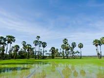 W polu cukrowi drzewka palmowe Obraz Royalty Free