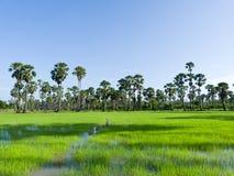 W polu cukrowi drzewka palmowe Fotografia Royalty Free
