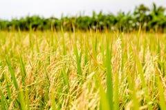 W polu Irlandczyków ryż Obraz Stock