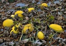 W polu melon r zdjęcia stock