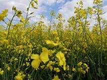 w polu oilseed gwałt zdjęcia royalty free