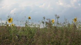 W polu przed deszczem Silny wiatr zbiory wideo