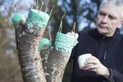 W połowie starzejący się mężczyzna przeszczepia owocowego drzewa Zdjęcie Stock