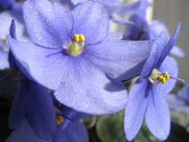 w porządku violet Fotografia Royalty Free