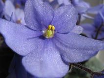 w porządku violet Zdjęcia Royalty Free