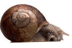 W profilu duży ślimaczek Obrazy Royalty Free
