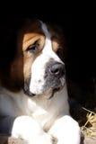 W pudełku duży piękny pies Zdjęcia Royalty Free