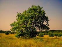 W śródpolnym Lykovo osamotniona drzewna pozycja Obraz Stock