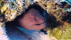W rafa koralowa murena węgorz Zamyka w górę strzału Maldives zbiory wideo