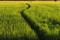 W Rice Gospodarstwie rolnym sposobu Spacer (Lanscape) Zdjęcie Stock