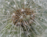 Wśrodku Dandelion Zdjęcie Royalty Free