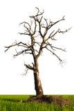 W ryżowych polach odosobneni nieżywi drzewa. Obrazy Royalty Free