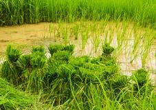 W ryżowym polu Zdjęcie Stock