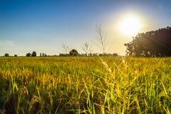 W ryżowym polu Fotografia Royalty Free