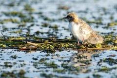 Wąsaty Tern (Chlidonias hybrida) Obraz Stock