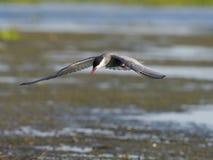 Wąsaty tern, Chlidonias hybridus Fotografia Stock