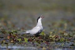 Wąsaty tern, Chlidonias hybridus Fotografia Royalty Free