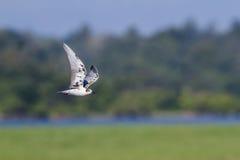 Wąsaty Tern w Arugam zatoki lagunie, Sri Lanka Zdjęcia Stock