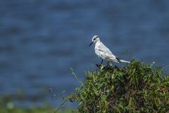 Wąsaty Tern w Puttalam, Sri Lanka Obrazy Stock