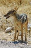W sawannie podparty szakal (Canis mesomelas) Obrazy Stock