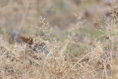 W selekcyjnej ostrości brązu dzikiej trawy kwiatu okwitnięciu w polu zdjęcie royalty free