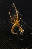 W sieci pająk Zdjęcie Stock
