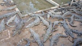 W Siem krokodyla gospodarstwo rolne Przeprowadzać żniwa. Kambodża. obrazy royalty free