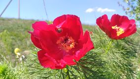 Wąskolistna peonia Stavropol lub lohmach zdjęcia stock