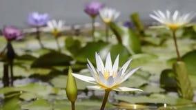 W stawie piękny lotosowy kwiat zbiory wideo