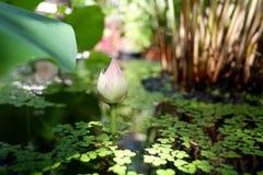 W stawie piękny lotosowy kwiat Obraz Royalty Free
